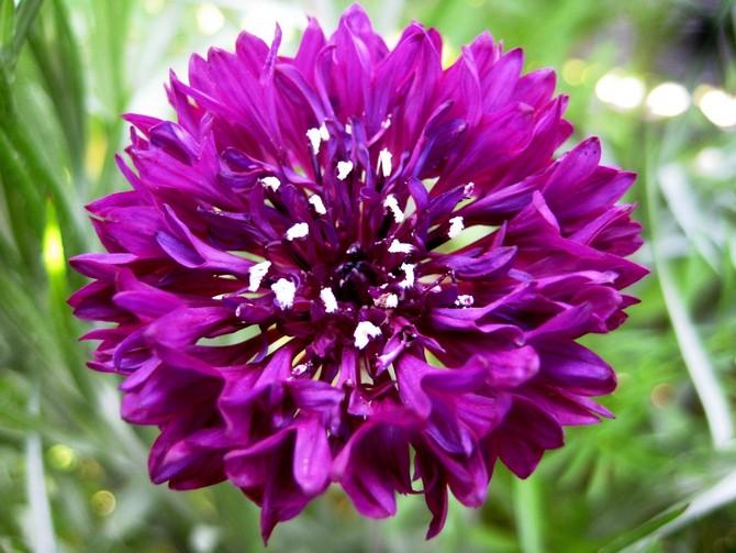 Чтобы продлить цветение василька, его можно и даже нужно подкармливать