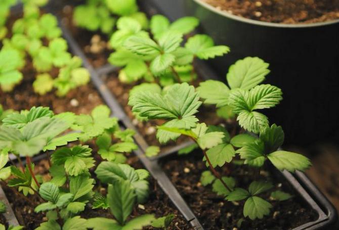 Пикировку рассады можно проводить, когда на каждом растении появятся по три полноценных листочка