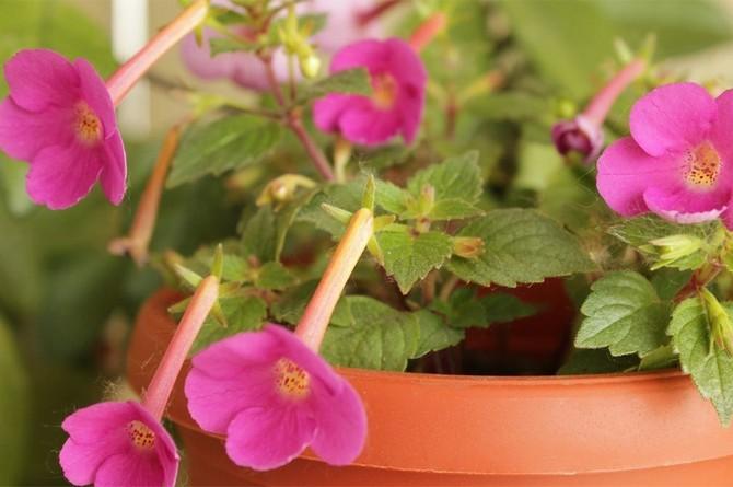 Ахименес — уход и выращивание в домашних условиях