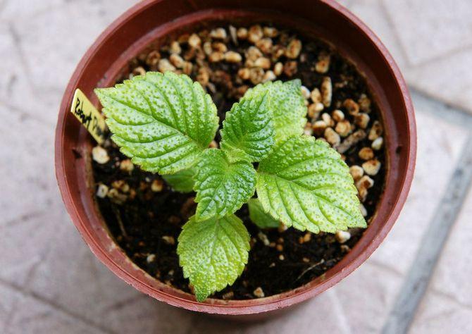 Отличным вариантом для ахименеса будет дренированная, слабокислая, легкая почва