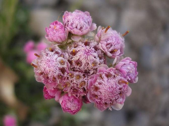 Антеннария - кошачья лапка. Уход и выращивание цветка. Посадка и размножение