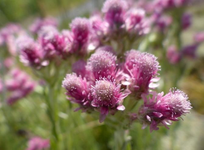 Антеннария – кошачья лапка: уход и выращивание цветка