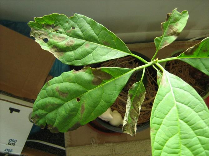 Авокадо, как и все комнатные растения, боится одних и тех же вредителей – щитовку и паутинного клеща
