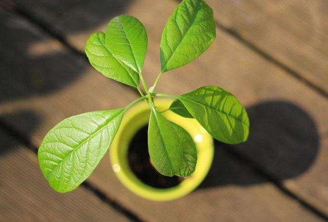Авокадо – выращивание и уход в домашних условиях