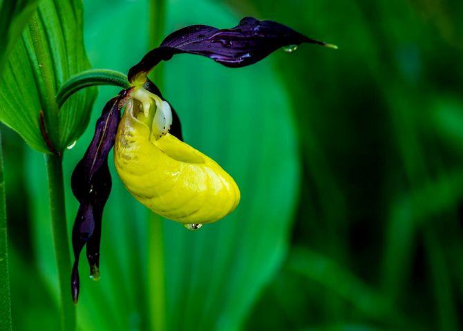 Венерин башмачок – выращивание и уход в домашних условиях