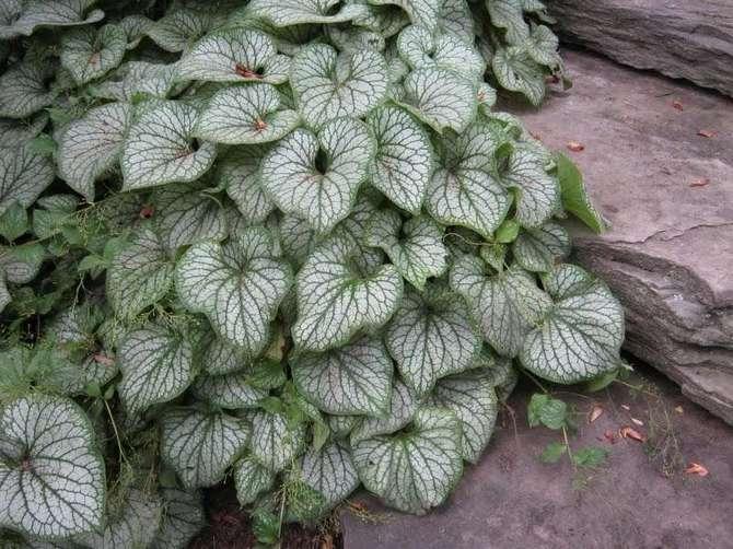 Растение эффектно выглядит вдоль дорожек, украсит любую альпийскую горку или рокарий.