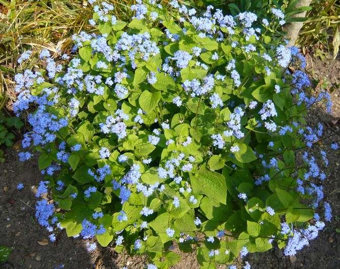 Выращивание и уход за бруннерой крупнолистной