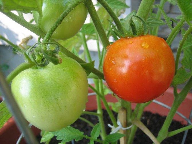 Советы по выращиванию черри
