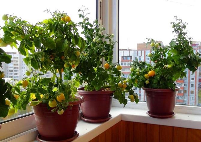 Помидоры черри: выращивание и уход в домашних условиях
