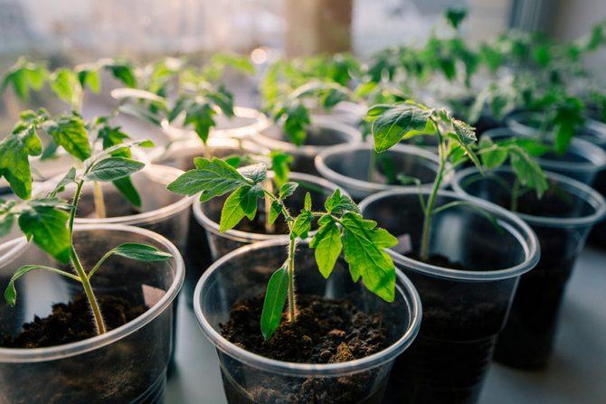 Размножение помидоров черри