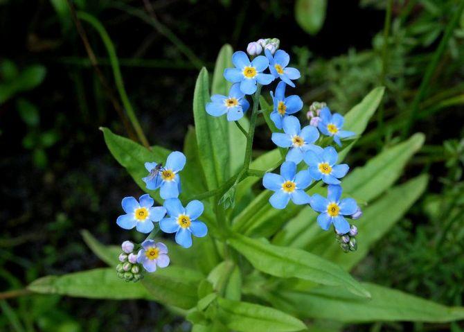 Незабудка. Выращивание и уход за цветами незабудки. Посадка и размножение. Описание, виды
