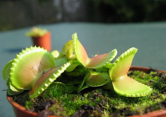 В конце февраля Венерина мухоловка просыпается: медленно и лениво