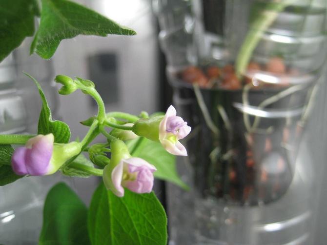 Для сооружения «гидропонического устройства» понадобятся две емкости, например, два цветочных горшка, разного размера