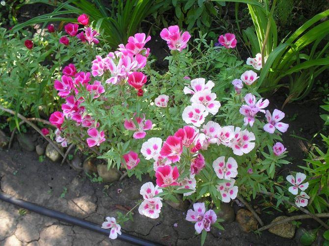 Цветок годеция – выращивание и уход