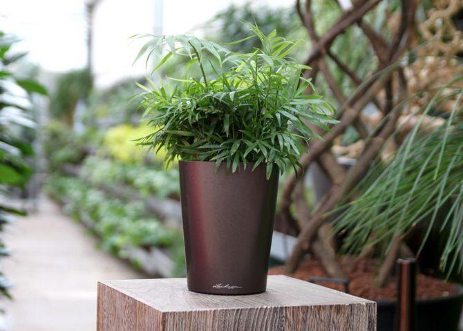 Некоторые цветоводы рекомендуют пересаживать пальмы в зависимости от ее возраста: молодые растения – каждый год, а взрослые – каждые три года