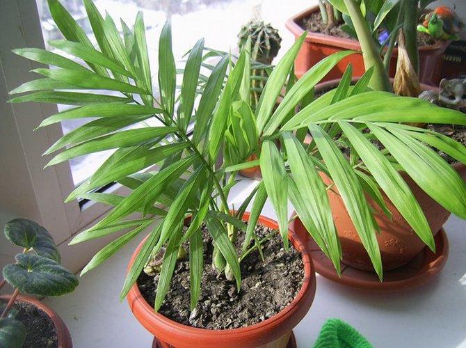 У пальмы не должен пересыхать земляной ком, но и заливать растение обильно не стоит