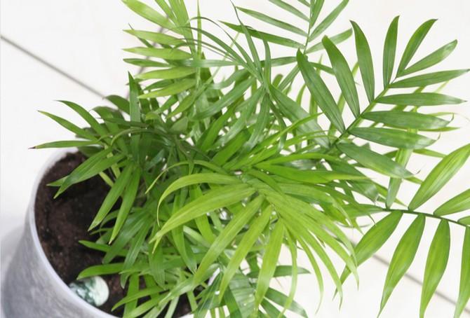 Хамедорея: выращивание и уход в домашних условиях