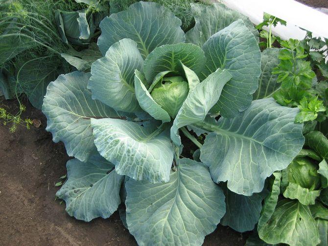 Рекомендуется проводить четыре подкормки за весь сезон выращивания белокочанной капусты.