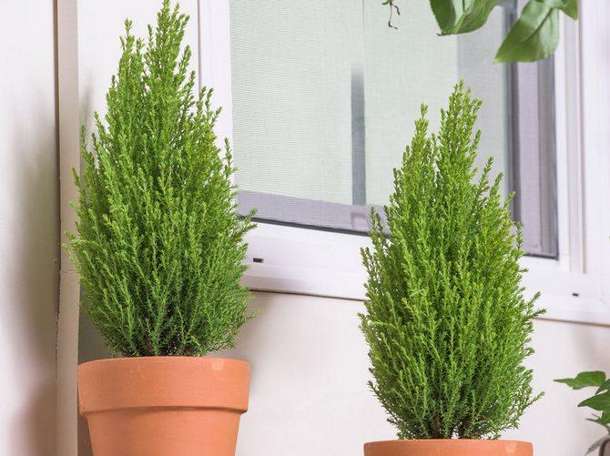 Кипарисы в наше время являются очень популярными растениями