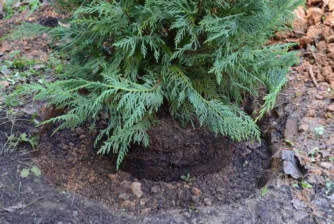 Кипарис – растение экзотическое и обычные удобрения или комплексные подкормки для комнатных растений ему не подойдут