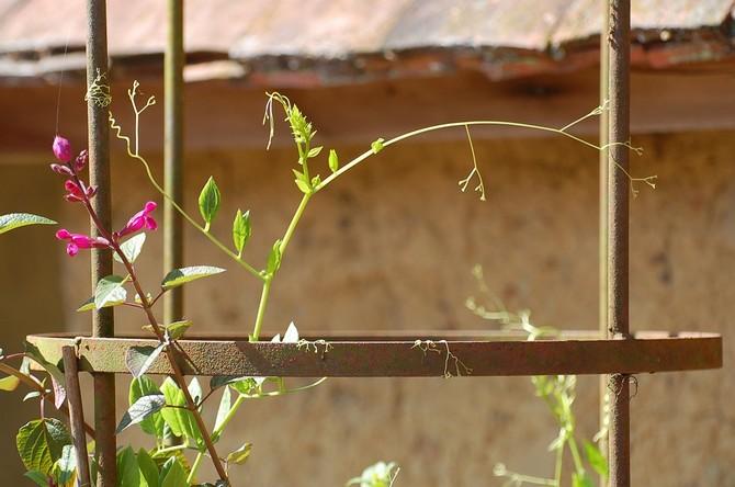 Если цветок не радует вас высокими пышными стеблями, значит его не устраивает место посадки или уход