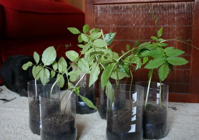 Выращиваем кобею в домашних условиях