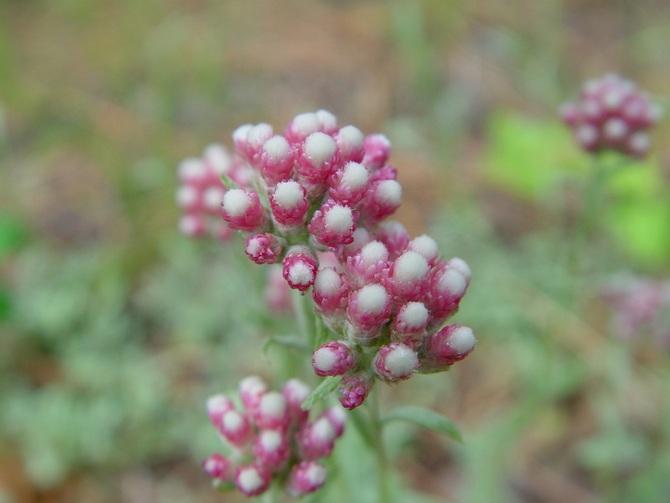 Кошачья лапка может размножаться: черенкованием, семенами, рассадой, делением куста и корневища