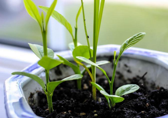 Есть три классических способа, как размножить лимон в домашних условиях: черенками, семенами (косточками) и отводками