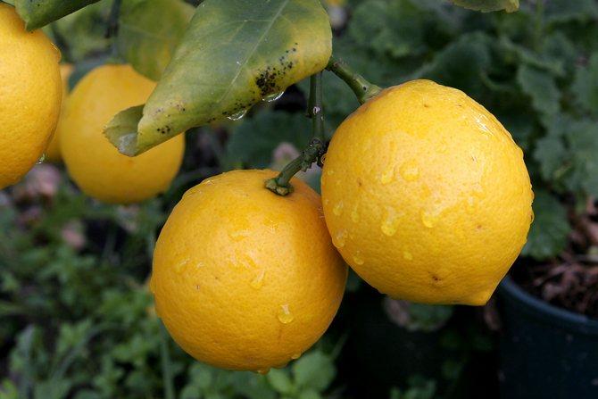 Популярные сорта лимона