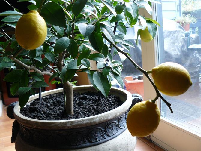 Подкармливают лимоны намного чаще, чем любое другое домашнее растение
