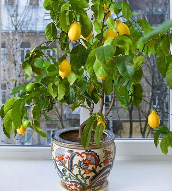 Выращивание и уход за лимоном в домашних условиях