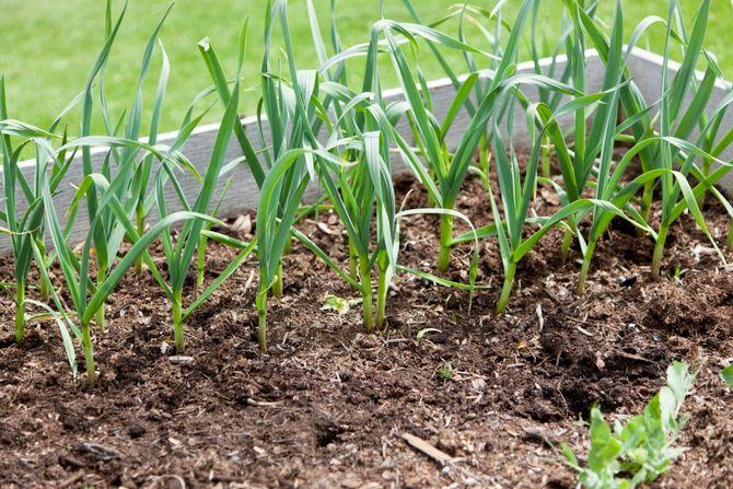 Сбор урожая многолетних луков