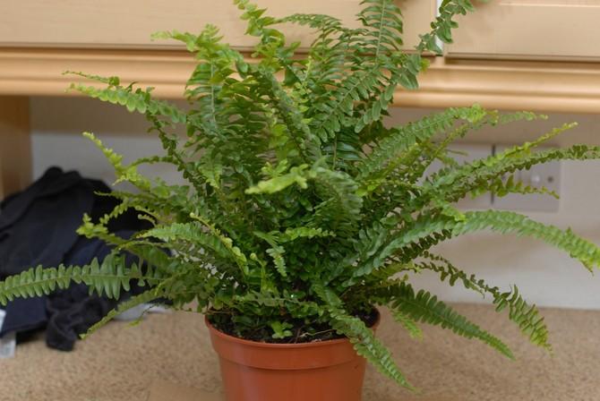 Независимо от времени года оптимальная температура для выращивания этого вида папоротника составляет 20-22 градуса