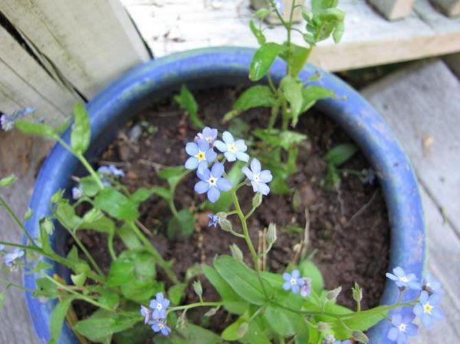 Есть несколько способов размножения незабудки. Новое потомство цветов проще всего получить с помощью семян