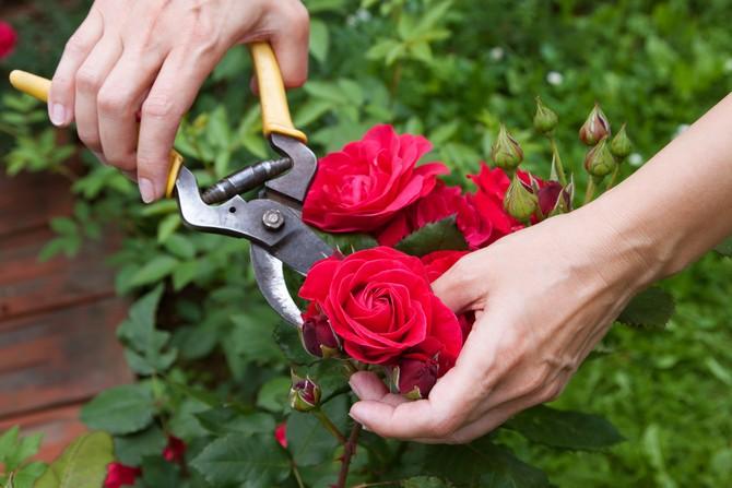 Обрезке подвергаются все увядшие цветы и абсолютно все побеги