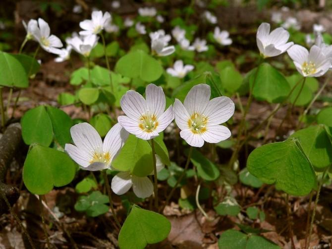 Оксалис обыкновенный (Oxalis acetosella)