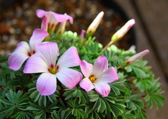 Оксалис железистолистный (Oxalis adenophylla)