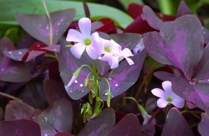 Оксалис треугольный (Oxalis triangularis) либо оксалис фиолетовый