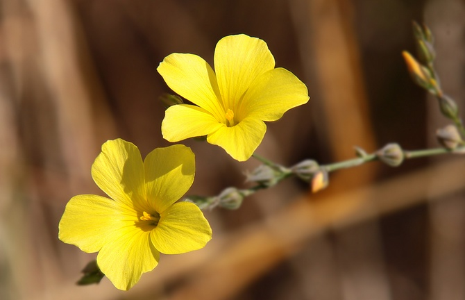 Оксалис клубненосный или ока (Oxfis tuberosa)