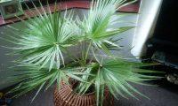 Пальма вашингтония – уход в домашних условиях. Фото и описание пальмы, её виды. Домашняя вашингтония – выращивание из семян