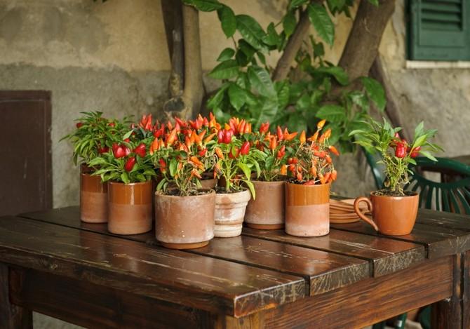 Мексиканский стручковый перец подарит обильное плодоношение и станет настоящим декоративным украшением только со всеми необходимыми для него подкормками