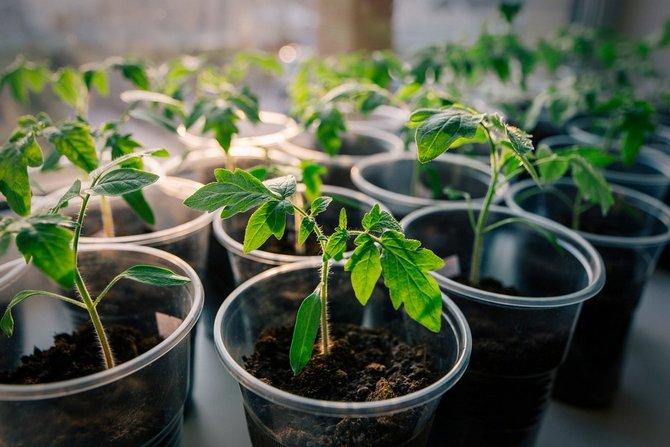 Оптимальный температурный режим для роста и пикировки рассады томатов