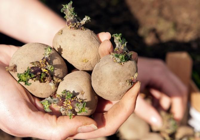 Отобранные для посадки картофельные клубни за пол месяца до посадки необходимо прорастить.