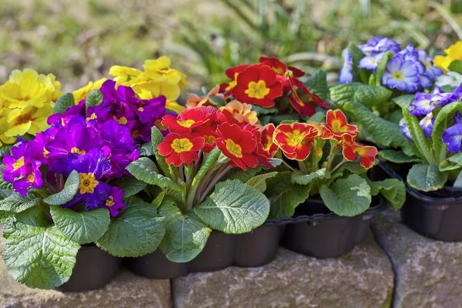 примула выращивание в домашних условиях