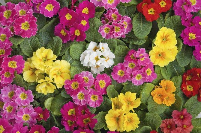 Для выгонки садовой примулы нужно взять деленки от зрелых растений или воспользоваться ее двухлетними сеянцами