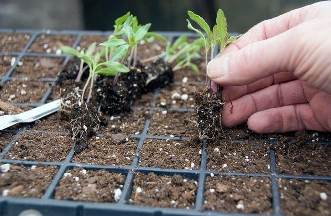Борьба с черной ножкой: как спасти рассаду