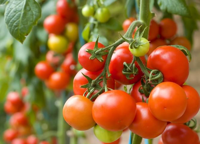 Температура для рассады томатов: какая оптимальная для выращивания
