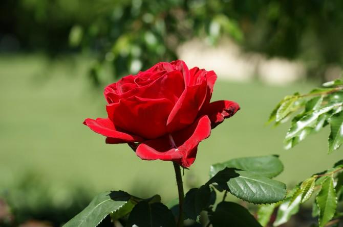 Розы. Выращивание и уход за розами. Посадка и размножение