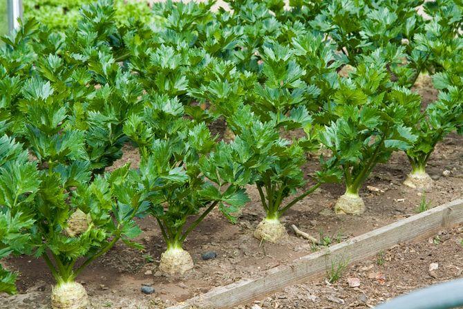 Секреты ухода и выращивания корневого сельдерея