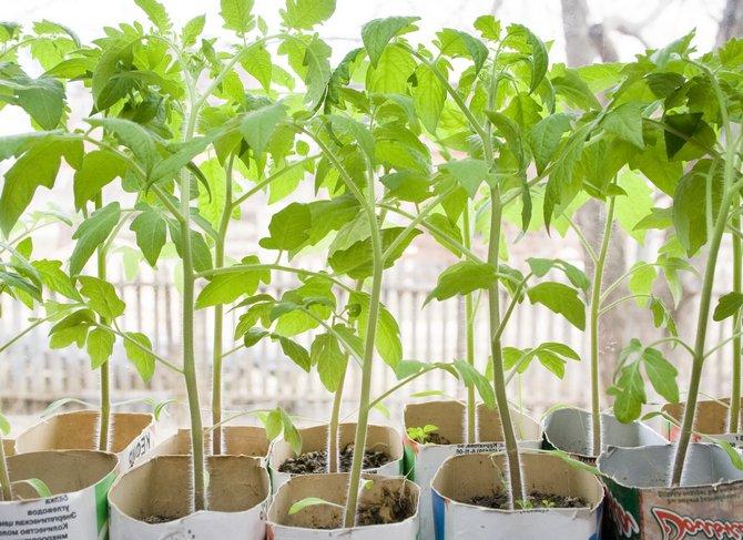 Удобрения и подкормки рассады томатов